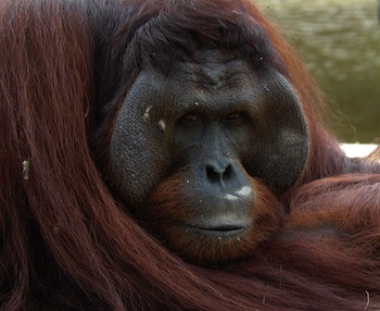 Nature's Crusaders: Rare endangered black Borneon, male orangutan, Indonesia
