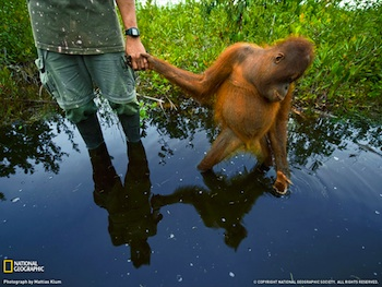 Orangutan Orphan, Borneo, National Geographic Society, Photograph by Mattias Klum
